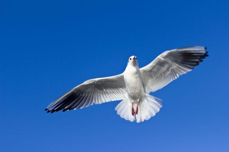ellis Ranch Doves