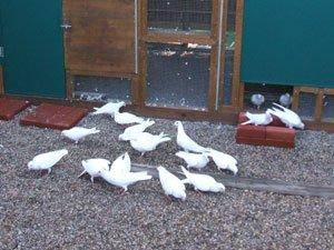 doves on ground ellis ranch Loveland wedding site